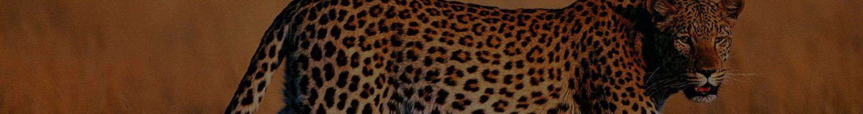 leopard-011